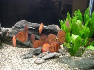 aquarium, fish, colony