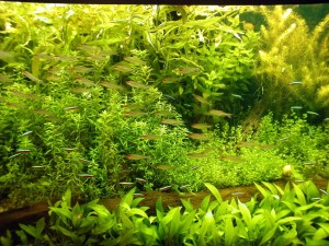 aquarium, fish, green, aqua, plants