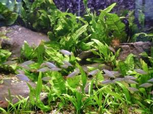 aquarium, fish, plants