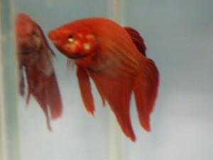 aquarium, poissons, rouge