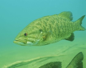 details, underwater, photo, smallmouth, bass, fish, micropterus, dolomieu