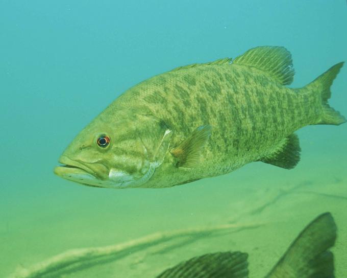 détails, sous l'eau, photo, petite bouche, basse, poissons, micropterus, dolomieu