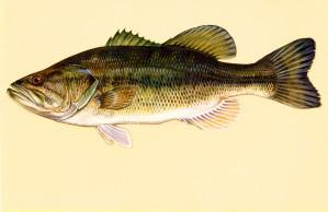largemouth, bass, fish, art, work, micropterus, salmoides