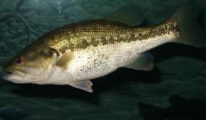 achigan à grande bouche, basse, poissons, sous-marin, animal, habitat naturel, micropterus, salmoides