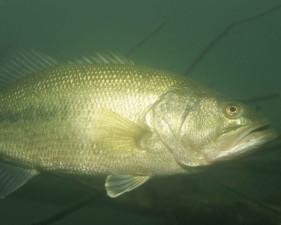de large ouverture, basse, poissons, sous marin, Micropterus salmoides,