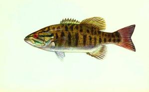 micropterus, dolomieu, petite bouche, basse, poissons