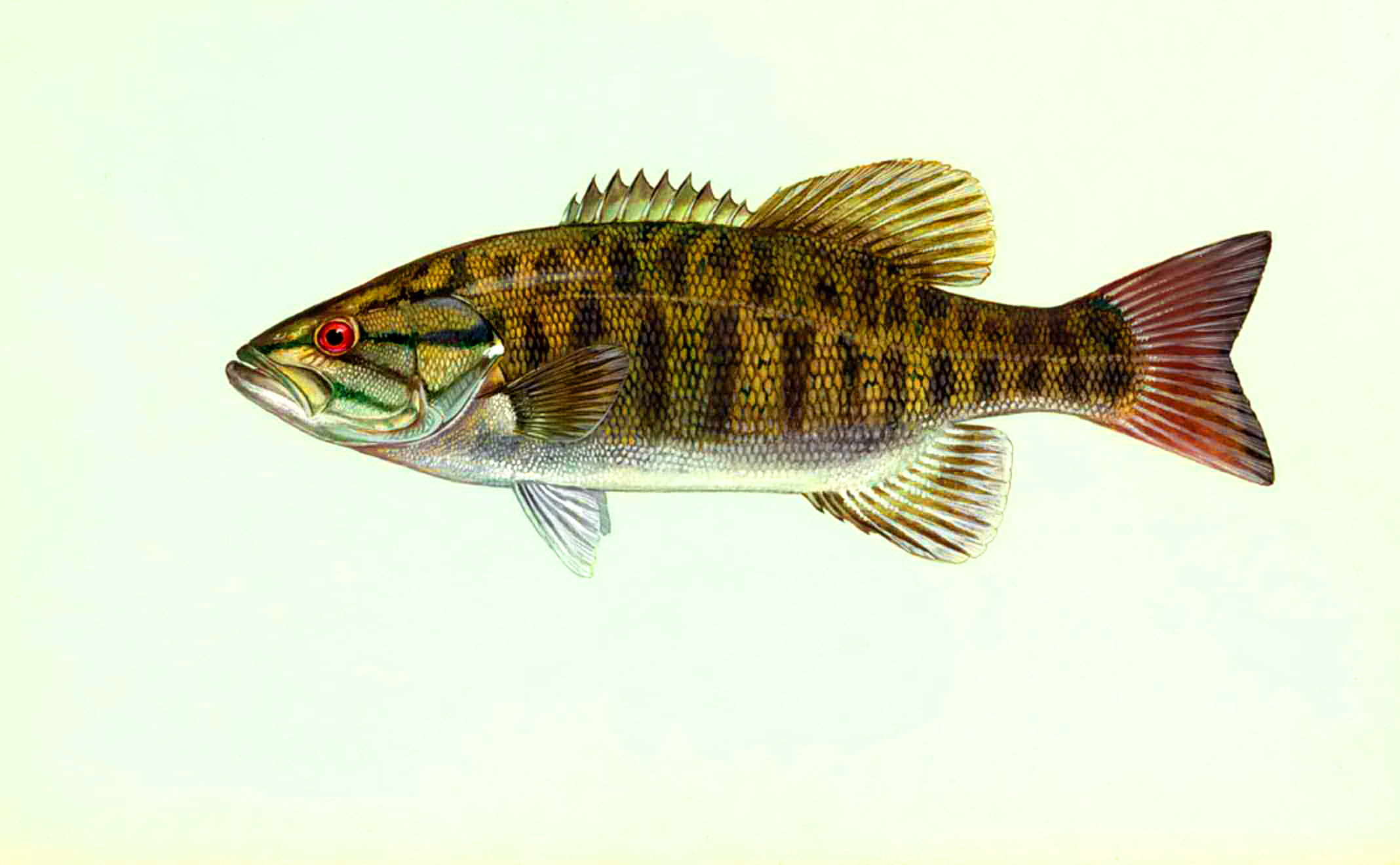 Free Picture Micropterus Dolomieu Smallmouth Bass Fish