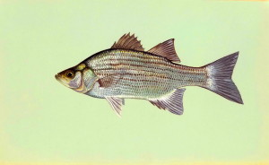 morone, chrysops, white, bass, fish