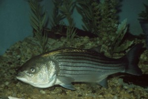 morone, saxatilis, striped, bass, fish, up-close, underwater, high, definiton, image