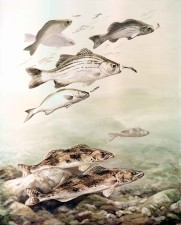 saugers, white, bass, fishes, stizostedion, canadense, morone chrysops