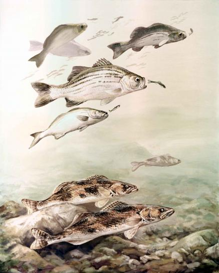 saugers, white, bass, fishes, stizostedion, canadense, morone, chrysops