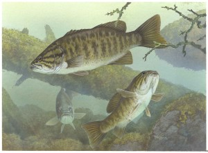 smallmouth, bass, fishes, underwater, micropterus, dolomieu