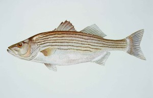 striped, bass, morone, saxatilis, fish
