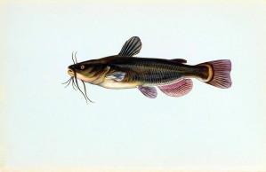fekete, törpeharcsa, hal