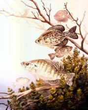 black, crappie, white, crappie, fish