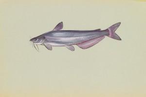 bleu, le poisson-chat, ictalurus, furcatus, poissons, photo