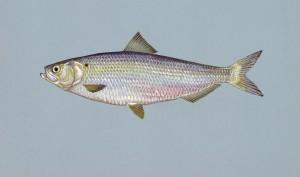 alose, le hareng, le poisson, l'image