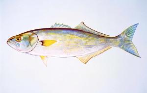 bluefish, libre, l'image