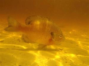 bluegill, riba lepomis macrochirus, voda, ribe, pod vodom, prirodno stanište
