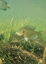 bluegill, fish, underwater