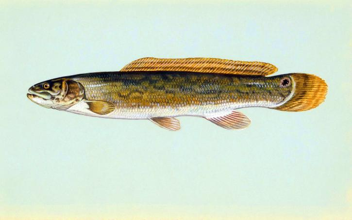 bowfin, fish, image