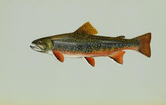 brook, trout, freshwater, fish