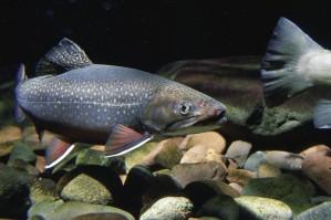 Brook ørred, svømmer, native, stream, under vandet, fisk, billede