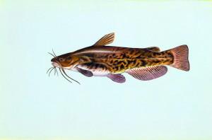 smeđa, Glavoč, ribu, ameiurus nebulosus