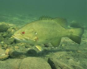 vedenalainen up-close, korkea resoluutio, kuvan, kala, smallmouth, basso