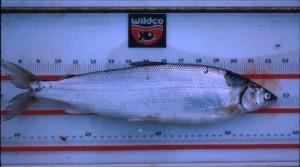coregonus, autumnalis, autumnalis, Arctique, cisco, poissons