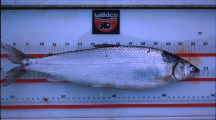 coregonus, autumnalis, autumnalis, Arctic, cisco, fish
