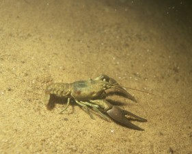 crayfish, underwater, bottom, river