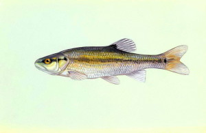 creekchub, fish, illustration