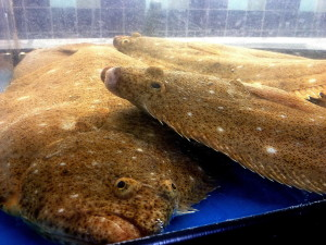 farmers, market, live, flounder, flatfish, flukes, paralichthys, dentatus