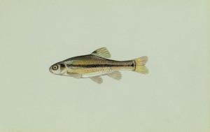 Толстоголовий minnow риби, pimephales, promelas