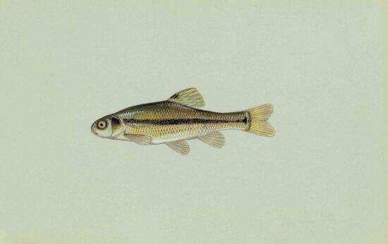 fathead, minnow, fish, pimephales, promelas
