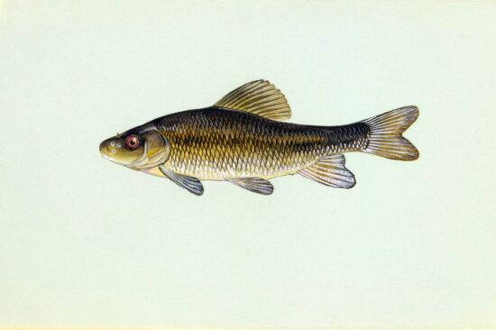 fish, creek, chubsucker