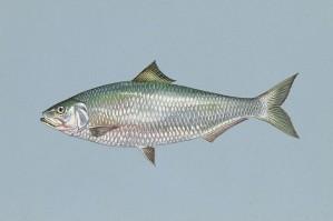 poissons, l'alose