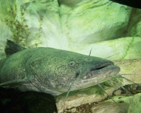 flathead, le poisson-chat, Pylodictis, olivaris