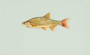 金色, 黑眼圈, 鱼, notemigonus, crysoleucas