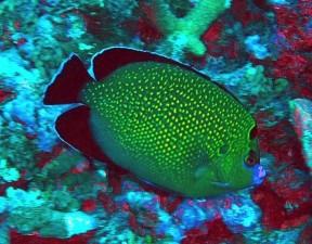 Златни, забелязан, angelfish, apolemichthys, xanthopunctatus