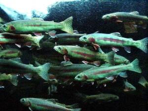 or, truite, poissons, mer, monde