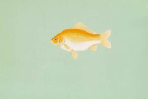goldfish, carassius, auratus
