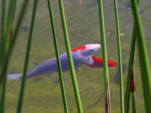 goldfish, lake