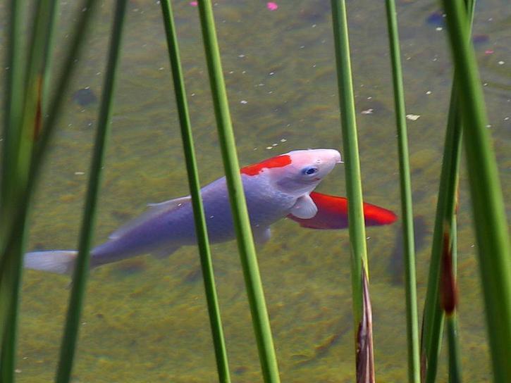 pesci rossi, lago