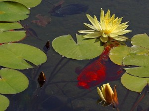 goldfish, waterlily, lilies, ponds