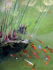 goldfishes, étangs, l'eau