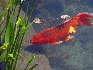 red, goldfish, animal