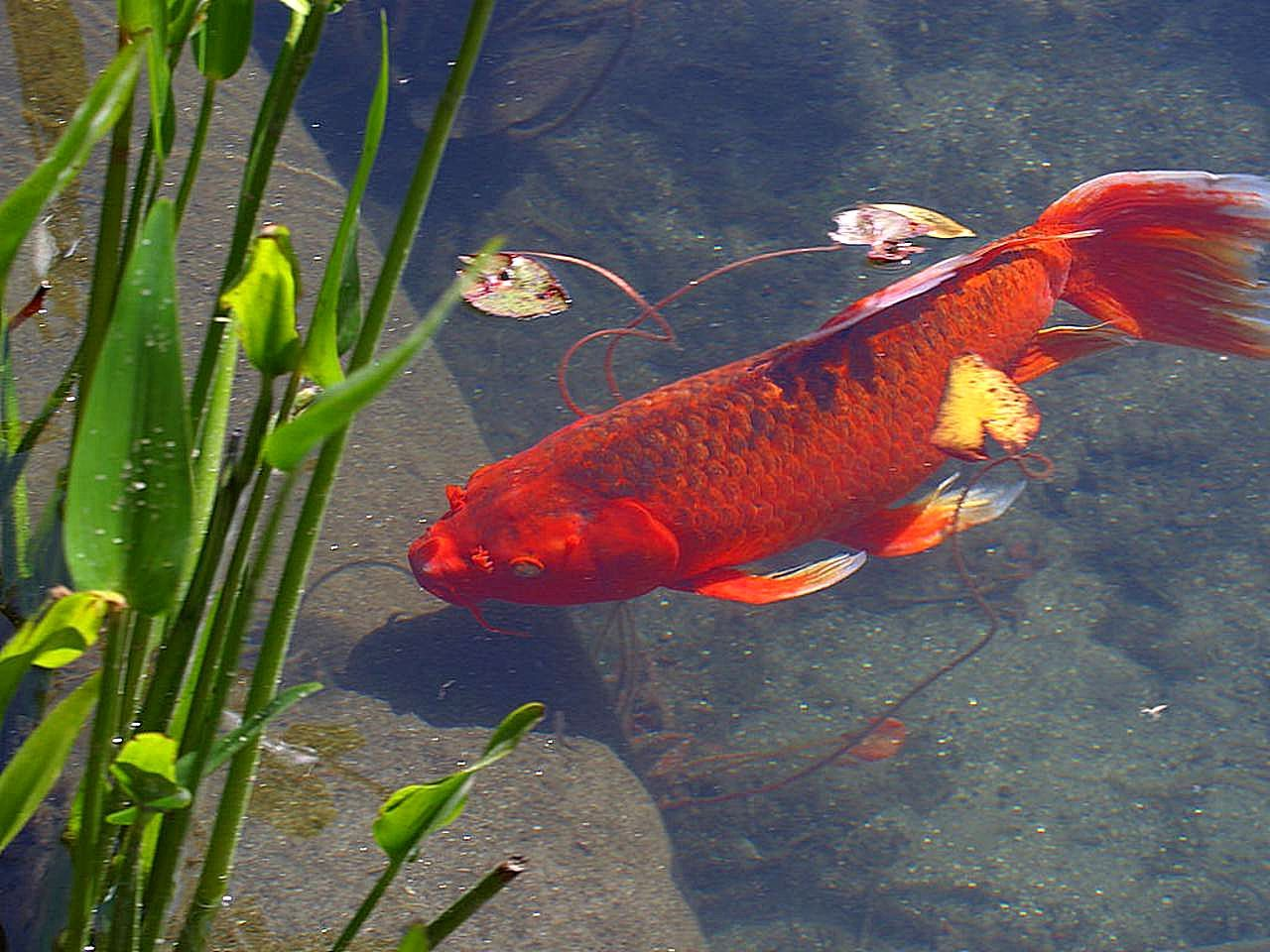 Image libre rouge poisson rouge animal for Acheter poisson rouge animalis
