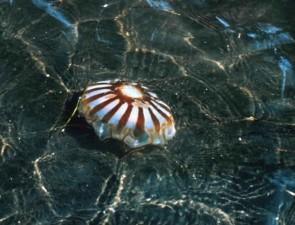 jellyfish, animal, underwater, life